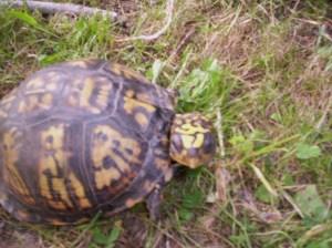 Turtle 017
